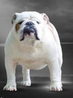 TOP_BULLDOG_2016 MACHO
